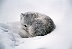Arctic fox, Cape Churchill, Manitoba, Canada.