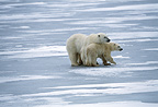 Polar bears, Cape Churchill, Manitoba, Canada.