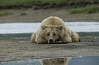 Brown bears, Katmai National Park, Alaska
