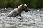 Brown bear fishing, Brooks Falls, Katmai National Park, Alaska