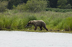 Brown bear with fish, Katmai National Park, Alaska