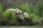 Brown bears mother and twin cubs, Katmai National Park, Alaska