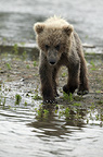 Brown bear cub, Katmai National Park, Alaska