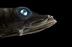 Bigeye Smooth-head, Mid-Atlantic Ridge, North Atlantic