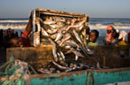 Fishermen transferring fish into a trader's cart for transporting to the shore, St. Louis, Senegal