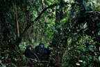 Pair of mountain gorillas in the crater of an extinct volcano, Parc des Virungas, Democratic Republic of Congo