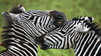 Zebras nuzzling each other, Ngorongoro National Park, Tanzania.