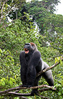 Lowland gorilla, L�fini National Park, Republic of Congo.