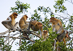 Proboscis monkeys, Tanjung Puting National Park, Kalimantan, Indonesia