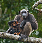 Chimpanzee female with baby, Conkouati-Douli National Park, Republic of Congo.