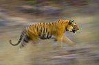 Male Bengal Tiger - Sundar (B2) running and patrolling territory, Bandhavgarh National Park, Madhya Pradesh, India.
