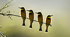 Little Bee-Eaters, Seronera Valley, Serengeti National Park, Tanzania.