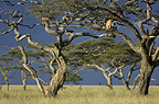 African Lioness using tree as a lookout, Nogorongoro Conservation Area, Serengeti National Park, Tanzania.