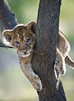 African lion cub about 3 months old, climbing a tree. Near Ndutu, Ngorongoro Conservation Area / Serengeti National Park, Tanzania.