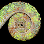 Curled tail of male Panther Chameleon. From Masoala National Park, north east Madagascar.