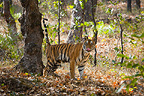 Bengal Tiger marking his territory, Bandhavgarh National Park, Madhya Pradesh, India