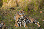 Bengal Tiger mother with cubs, Bandhavgarh National Park, Madhya Pradesh, India