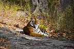 Bengal Tiger, Bandhavgarh National Park, Madhya Pradesh, India