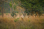Bengal Tiger hunting, Bandhavgarh National Park, Madhya Pradesh, India