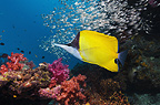 Long-nosed butterflyfish over coral reef scenery with soft corals. Andaman Sea, Thailand.
