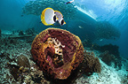 Bennet's butterflyfish swimming over coral reef with soft corals.  Andaman Sea, Thailand.