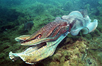 Giant cuttlefish male displaying during mating season. Spencer Gulf, Wyalla, Australia.