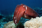 Broadclub cuttlefish at rest,  Indonesia.