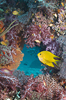 Golden damsel with soft corals, Andaman Sea, Thailand.