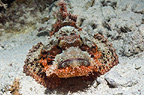 Tassled scorpionfish on sandy bottom.  Egypt, Red Sea.