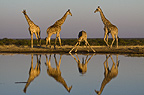 Giraffe at water hole, reflected in water, Etosha Pan, Namibia