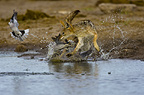 Black backed Jackal chasing Cape Turtle Doves, Etosha, Namibia