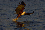 African Fish Eagle catching fish, Chobe, Botswana