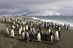 King Penguins on Beach, Salisbury Plain, South Georgia