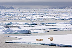 Polar Bears on ice floe, Woodfjorden, northern Spitsbergen, Svalbard, Arctic Norway.