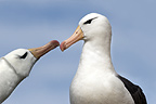 Male and female Black-browed Albatross greeting one another at breeding colony. Saunders Island, Falkland Islands, South Atlantic.