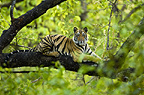 Adolescent male Bengal Tiger (around 15 months) resting up a tree. Bandhavgarh NP, Madhya Pradesh, India.