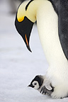 Emperor penguin and chick, October, Snow Hill Island, Weddell sea, Antarctica