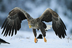 White-tailed eagle in winter,  co Tr�ndelag, Norway