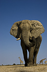 African elephant and Giraffes, Etosha National Park, Namibia