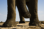 African elephant's trunk & feet, Etosha National Park, Namibia