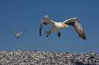 Flying Cape Gannet, Bird Island, South Africa