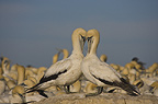 Cape Gannets Preening, Bird Island, South Africa