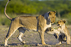 African lioness with cub, Etosha National Park, Namibia