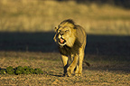 African lion roaring, Kgalagadi Transfrontier Park, South Africa
