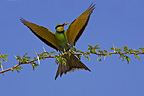 Swallow Tail Bee-eater, Kgalagadi Transfrontier Park, South Africa