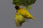 Male masked weaver bird with nest, Etosha Pan, Namibia