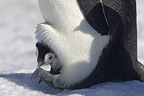 Emperor penguin and chick, October, Snow Hill Island, Weddell Sea, Antarctica.
