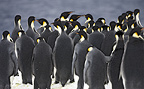 Emperor penguins gathering at ice edge before jumping into sea, October, Snow Hill Island, Weddell Sea, Antarctica.