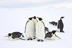 Emperor penguin group, October, Snow Hill Island, Weddell Sea, Antarctica.