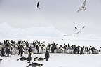 Emperor penguin colony with gulls, October, Snow Hill Island, Weddell Sea, Antarctica.